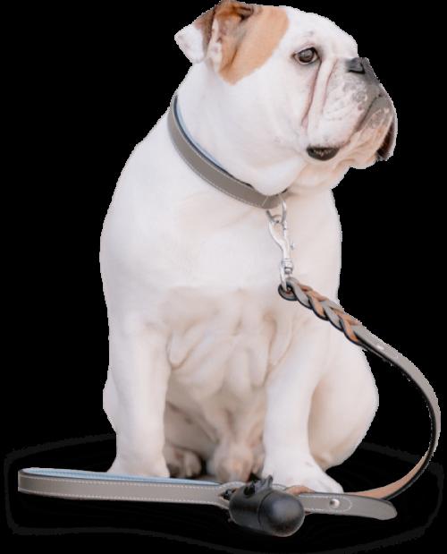 bulldog on a leash
